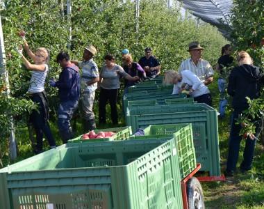 Apfel- und Birnenernte 2015