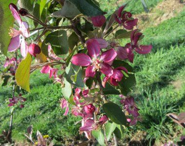 Rote Apfelblüte von unserem Apfelbaum Baya Marisa